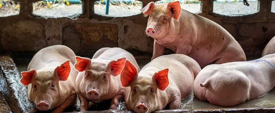 Cerdos CAN-Conosur
