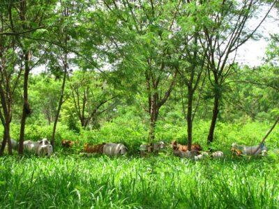 Fedegan-árbolessembrados